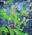 Knot Grass Herb (Polygonum aviculare) Bulk