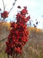 Sumac Berry (Rhus Glabra) Bulk