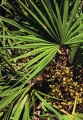 Saw Palmetto Berries Organic Bulk