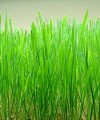 Wheatgrass Cut/Powder/Seeds Organic Bulk