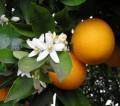 Orange Blossom Flower Water Bulk