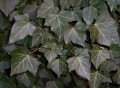 Common English Ivy Leaf Wildcrafted (Herdera helix) Bulk